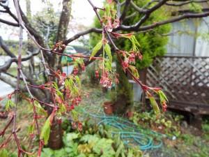 もみじの花と雨