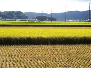 稲刈りの風景3